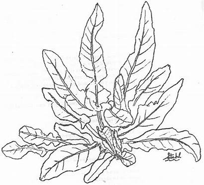 Coloring Plants Pages Sea Plant Tobacco Jungle