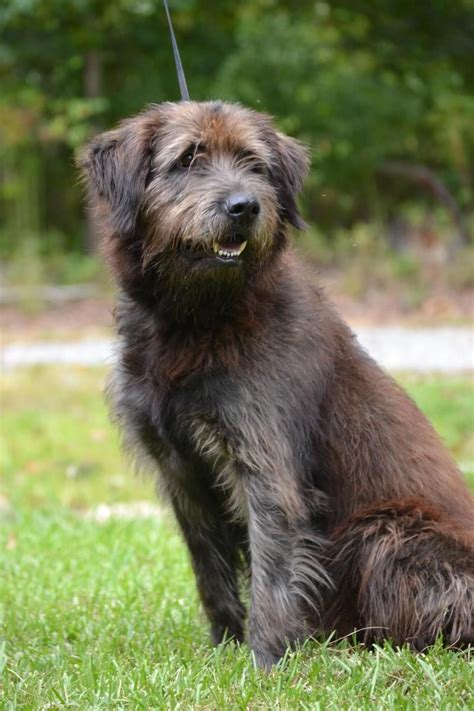 Adopt Max On Irish Wolfhounds Pinterest La Dor Mix