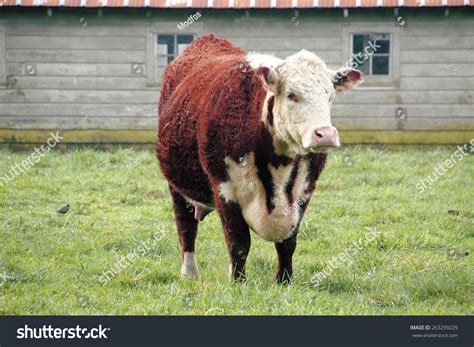 What Is Cowhide Mainly Used For by Hereford Is A Beef Cattle Breed Mainly Raised For