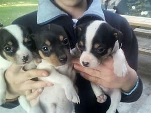 Cachorros Fox Terrier Chileno. Entrega Desde 30 Junio ...