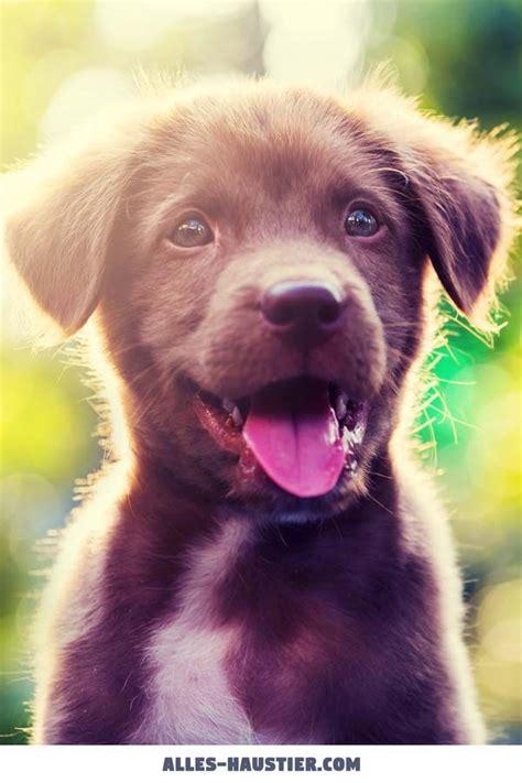 hunde fuer anfaenger das sind die  besten anfaengerhunde