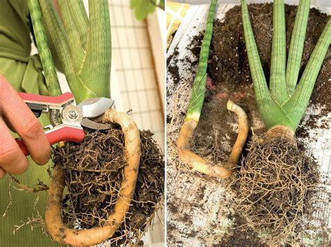memperbanyak tanaman lidah mertua