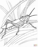 Coloring Grasshopper Pages Ant Printable Popular Garden sketch template