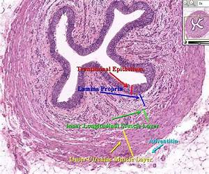 Urinary System  Histology  Physiology At University Of