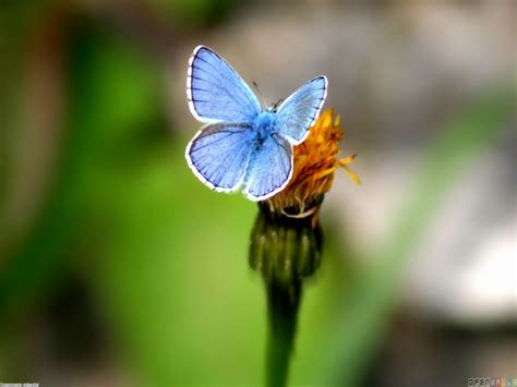 photo  blue butterfly white yellow flower