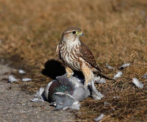 birds of prey page 3 massachusetts fishing surftalk