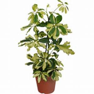 schefflera culture bouture et taille de cette plante verte With ordinary photo jardin avec palmier 15 gazon synthetique artificiel gazon et jardin