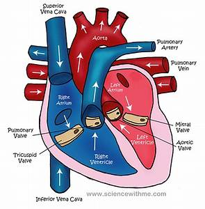 Free Unlabelled Diagram Of The Heart  Download Free Clip Art  Free Clip Art On Clipart Library