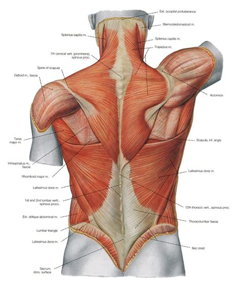 Overview product description the muscles of the shoulder and back chart shows how the many layers of muscle in the shoulder and back are intertwined with the other relevant systems and muscles in adjacent areas like the spine and. Why Some Runners Have Lower Back Problems - SimplyJnJ