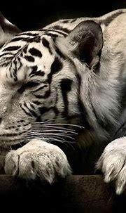 wallpaper: White Tiger Wallpapers
