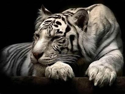 Tiger Wallpapers Desktop Bi Tigers Background Pc