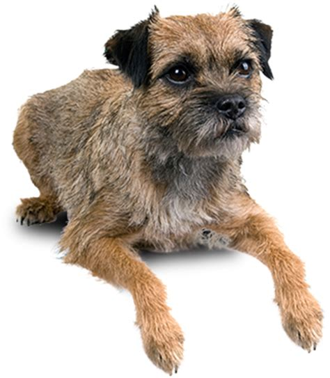 border terrier low shedding dogs apartment dogs i want how to walk a in your apartment