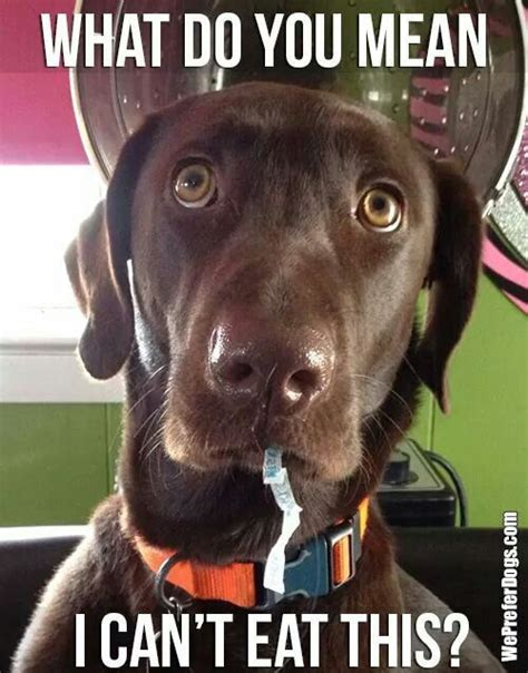 Labrador Meme - funny labrador meme eat plastic fluffy pinterest funny labradors labradors and labs