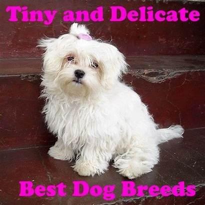 Breeds Tiny Dog
