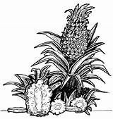 Pineapple Coloring Pages Printable Ackerman Levi Template Fruit sketch template