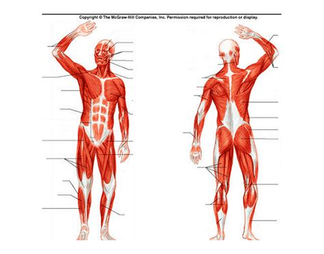 human muscular system diagram