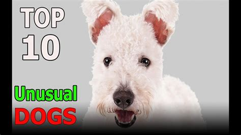Top 10 Most Unusual Dog Breeds Top 10 animals YouTube