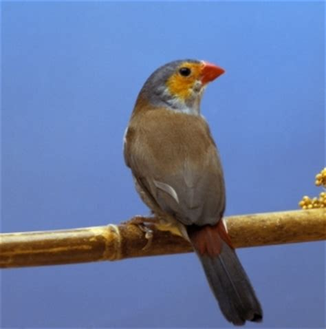 finches as pets best pet bird breeds images frompo
