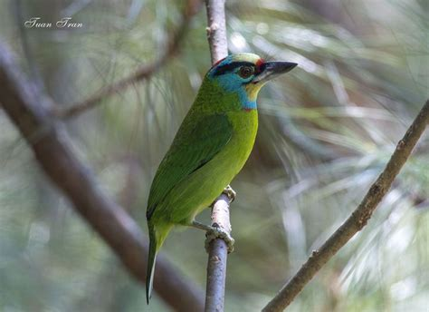 1000 images about southeast asia birds on pinterest