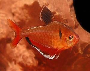 Tetras for Sale AquariumFish