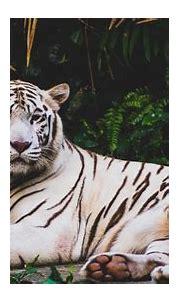Wildlife White Tiger 5K Wallpaper   HD Wallpapers