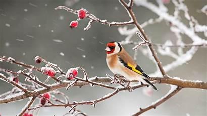 Snow Goldfinch Bing Zweig Hagebutte Stieglitz Einer