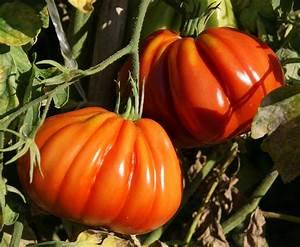 Chou Coeur De Boeuf : tomates le jardin de kupaia ~ Dailycaller-alerts.com Idées de Décoration