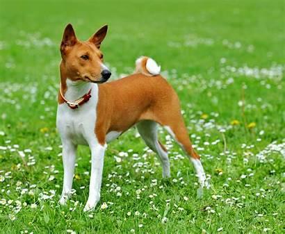 Basenji Dog Breed Dogs Walk Wallpapers