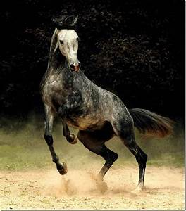 Dapple Grey Arabian | Horses Always Have a Place in My ...