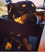 12 Unreal Rottweiler Cross Breeds You Have To See To Believe  Rottweiler English Bulldog Mix
