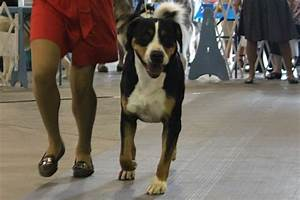 Greater Swiss Mountain Dog Breed Information, Greater ...