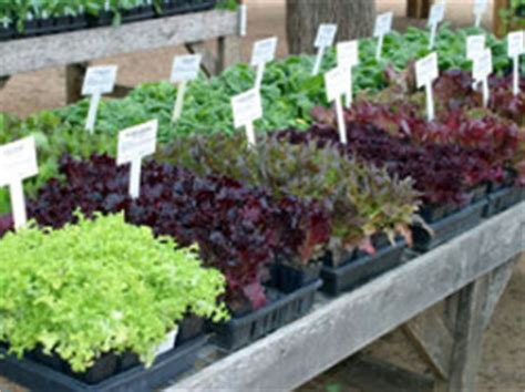Edible Landscaping  The Winter Vegetable Garden In Warm