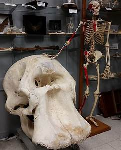African elephant skull in comparison to an entire human ...
