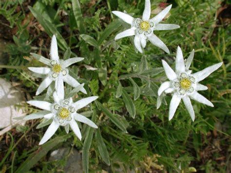 la stella alpina fiore la stella alpina