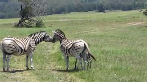 Zebra Family Photo