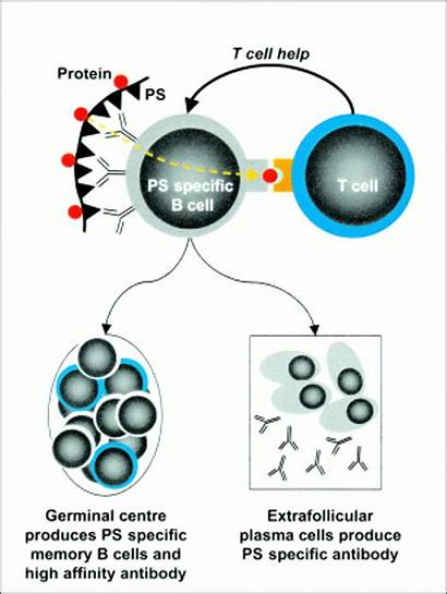 Cell Response Ti Implications Clinical Polysaccharide Encapsulated
