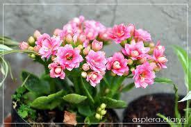 ไม้ดอกไม้ประดับ: ไม้ประดับดูดสารพิษ:กุหลาบหิน