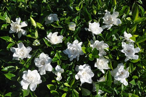 Summer Snow by Gardenia Jasminoides Summer Snow Kiefer Nursery Trees
