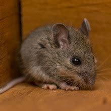 mice pest control service virginia mitchell pest company