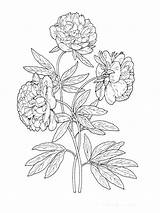 Coloring Flower Peony Pages Flowers Drawing Printable Line Sketch Colors Template sketch template
