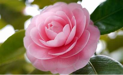 Camellia Flowers Flower Camellias Pretty Names Blooms
