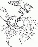 Hummingbird Coloring Pages Printable sketch template