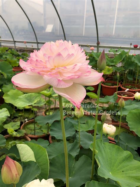Super Lotus (Juwuba) - Don't Miss it!!!!! All ship in ...