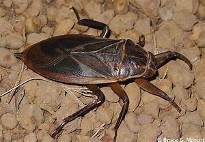Eight Horrifying Modern Day Gigantic Insects