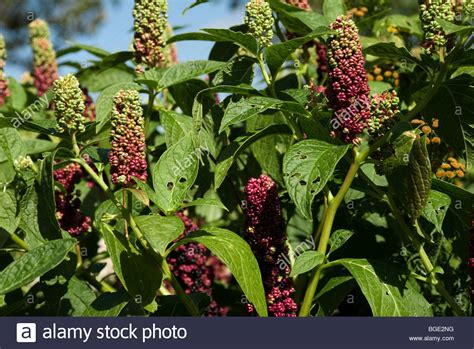 Pokeweed Images Phytolacca Americana Stock Photos Phytolacca Americana