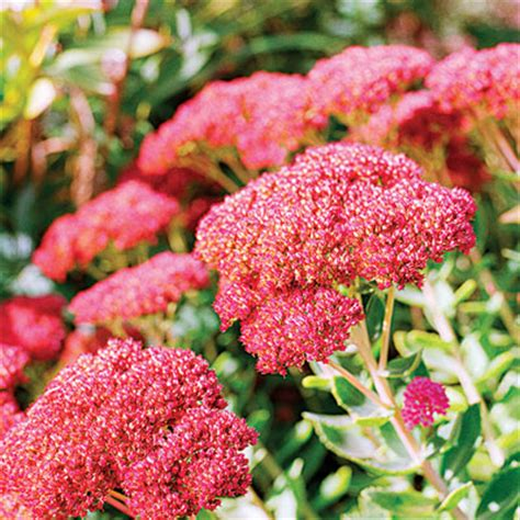 sedum with pink flowers sedum autumn joy fall garden plan sunset
