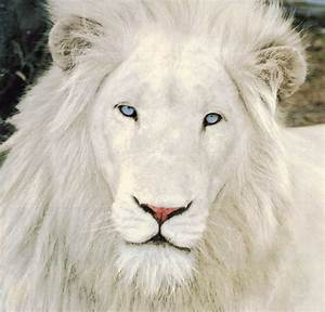 when the news stops: White Lions: The Myth and the Reality