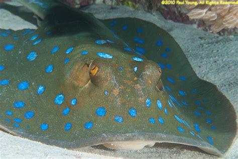 sea stingray mermaid southern taeniura lymma bluespotted south