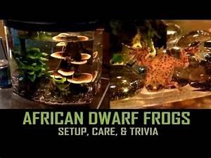 African Dwarf Frogs  Setup  Care   U0026 Trivia