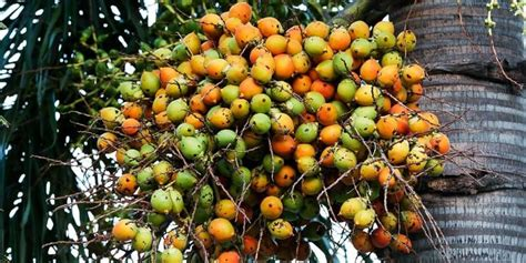 khasiat buah pinang untuk meningkatkan keperkasaan pria